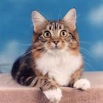 Maladies des chats âgés