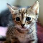 Assurance pour chat : connaître ses particularités