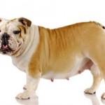 Les chiennes souffrant d'une grossesse nerveuse : un problème à ne pas négliger