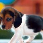 Santé chiens: maladies de l'oreille