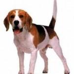 Maladies des chiens de race