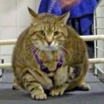 Mutuelle chat : éviter le surpoids