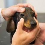 Santé chiens : la maladie de Carré