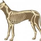 Santé chien: Maladies de l'appareil locomoteur