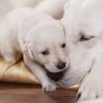 Santé chiens: la  gestation