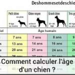 Calculer l'âge du chien en âge humain