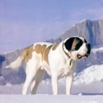 Race de chiens: le Saint-Bernard