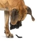 Chenilles processionnaires – danger pour mon chien?