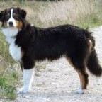 Race de chiens: Le berger Australien