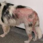 Mon chien a une plaie de léchage – comment le soigner?