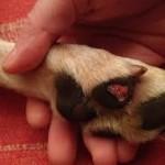 Mon chien a une blessure aux coussinets- comment le soigner?