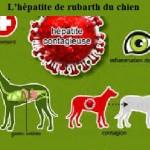 Santé chiens: l'hépatite de rubarth – symptômes et traitement