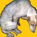 Santé chiens: l'hypothyroïdie