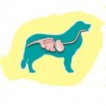 Santé chiens: la malabsorption intestinale