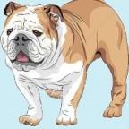 Races des chiens les plus aimées des français: le Bouledogue