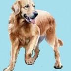 Races de chien les mieux préférées des français: le Golden Retriever