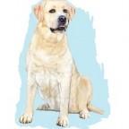 Races de chien les plus aimées des français: le Labrador Retriever
