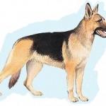 Meilleures races de chien préférées des français: le Berger Allemand