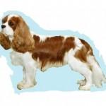 Races de chien les plus préférées par les Français: le Cavalier King Charles