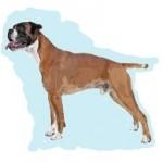 Races de chien les plus préférées de français: le Boxer