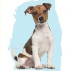 Races de chien les mieux préférées des français: le Jack Russel Terrier