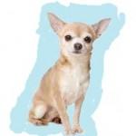 Races de chien les mieux préférées des français: le Chihuahua