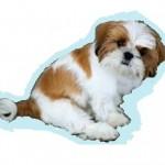 Races de chien les plus préférées des Français: le Shih Tzu