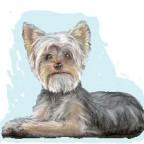 Races de chien les plus aimées des français: le Yorkshire Terrier