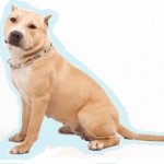 Races de chien les plus préférées des Français: l'American Staff