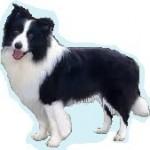 Races de chien les plus préférées de français: le Border Collie