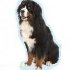 Les races de chien les plus préférées de français: le Bouvier Bernois