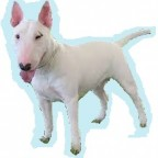 Races de chien les plus préférées des français: le Bull Terrier