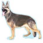 Races de chien les plus préférés de français: le Malinois