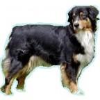Races de chien les plus préférées des Français: le Berger Australien