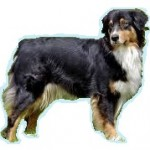 Races de chien les plus préférées de français: le Berger Australien