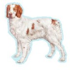 Races de chien les plus préférées de français: l'Epagneul Breton