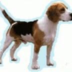 Races de chien les plus préférés des Français : le Beagle