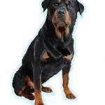 Les races de chien les plus préférées de français: le Rottweiler