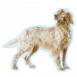 Races de chiens les plus préférés des Français: le Setter Anglais