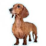 Races de chien les plus préférés des Français: le Teckel