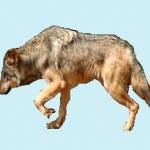 Santé chien: Que faire si mon chien boite?
