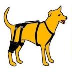 La rupture des ligaments croisés du chien