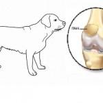 Comment soigner la luxation de la rotule chez le chien ?
