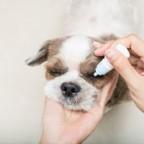La conjonctivite chez le chien
